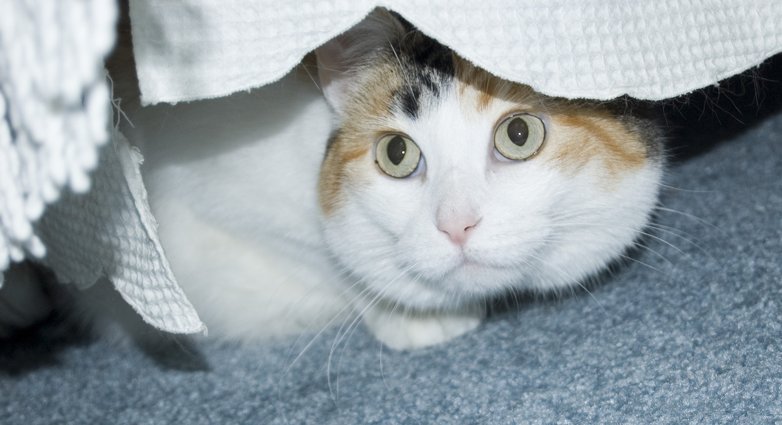 White calico cat hides underneath bed.