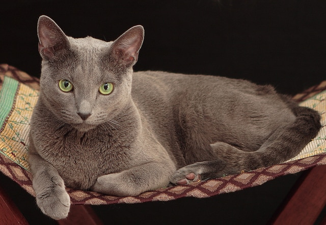 Gray cat with green eyes on a cat bed
