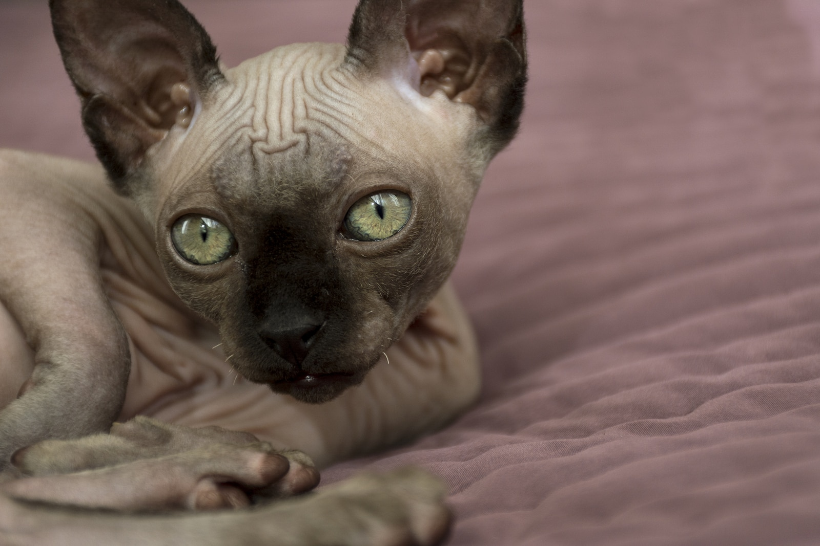 Hairless cat with big gray eyes lying down