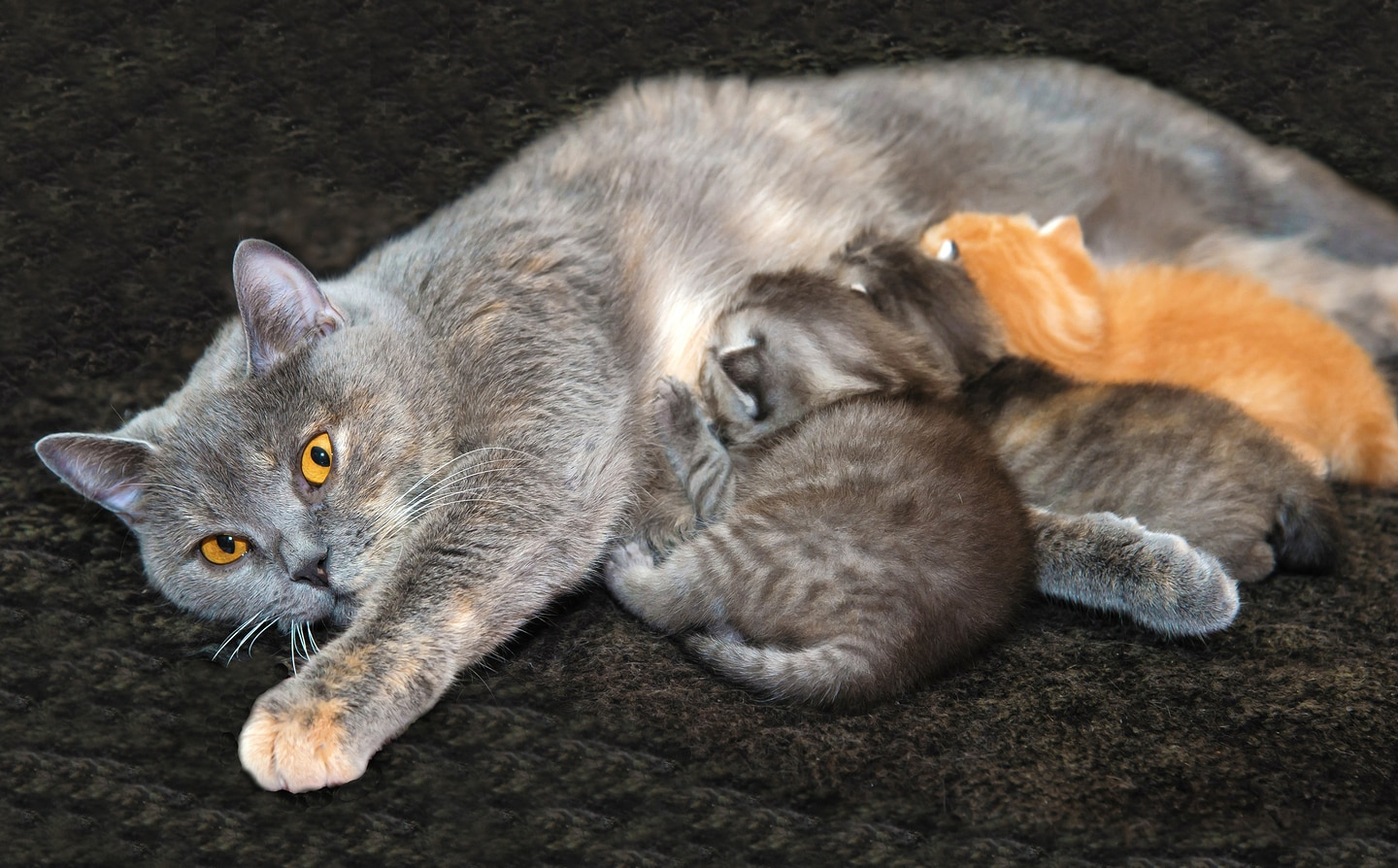 Gray cat with bright yellow eyes nursing kittens
