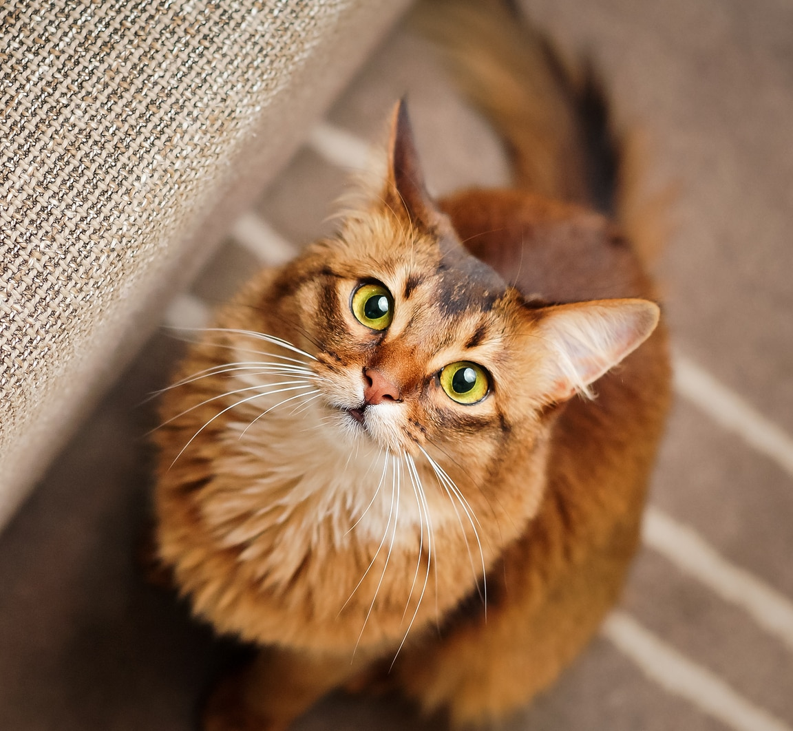Purebred ruddy somali cat looking up staring at the camera.