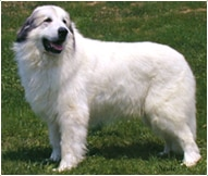 The Great Pyrenees Dog Breed