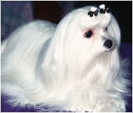 The Maltese Dog Breed