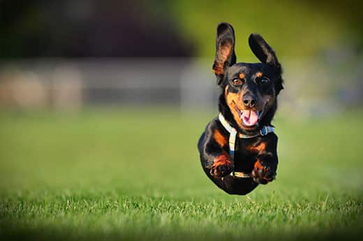 Long-haired black dashchund running in a park with all four paws in the air.