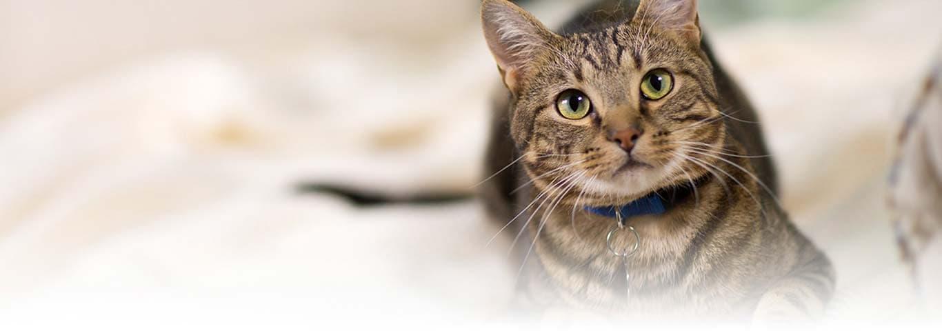 Gato   Comportamiento y Aspecto Físico - Hill\'s Pet