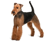 The Airedale Terrier Dog Breed